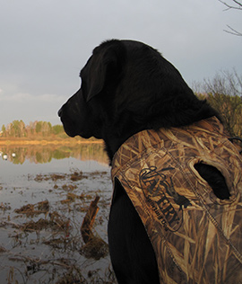 Avery Boater's neoprene dog vest on labrador retriever