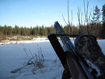 Fox calling at winter